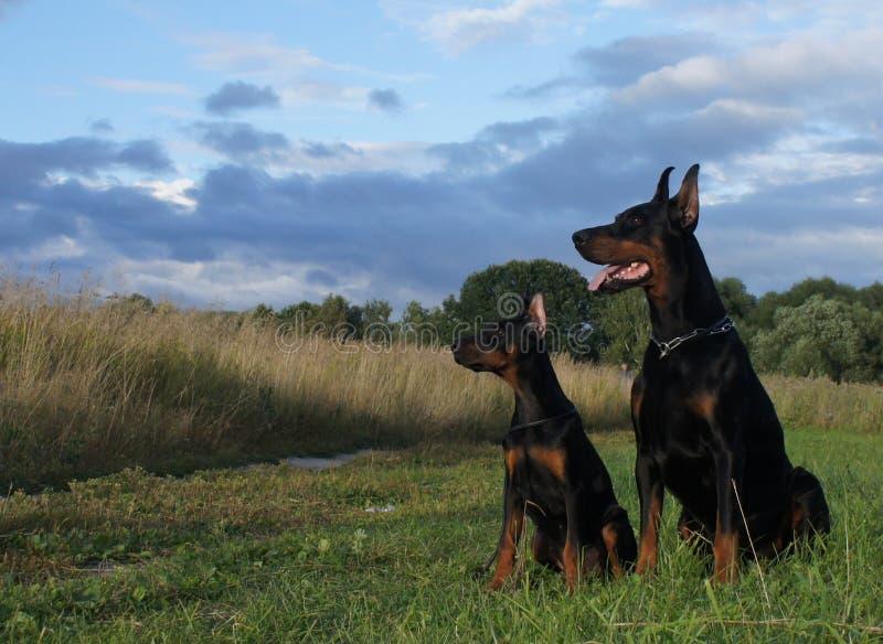 Dwa psa - ojciec i syn! obraz stock