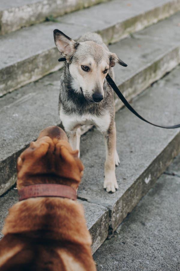 Dwa psa opowiada w ulicie Śliczny brązu sharpei i straszący popielaty przybłąkanego psa gawędzenie na schodkach Rozmowa wśród zwi fotografia royalty free