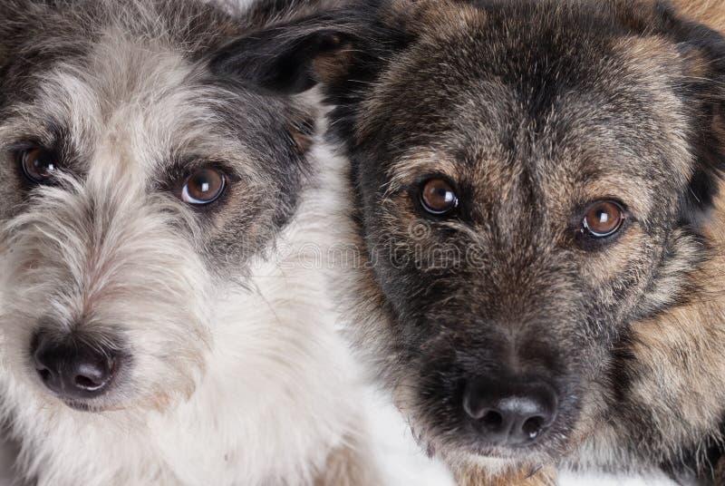 Dwa psa patrzeje kamerę fotografia stock
