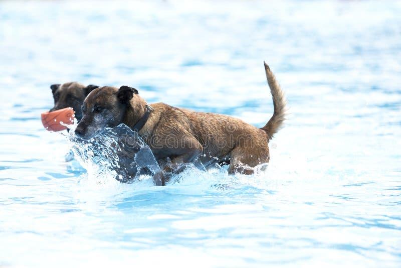 Dwa psa w pływackim basenie, Belgijska baca Malinois zdjęcie stock