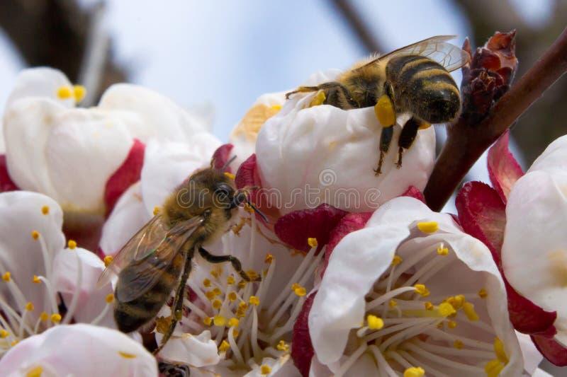 Dwa pszczoły zapylają morelowych okwitnięcia w wiośnie fotografia royalty free