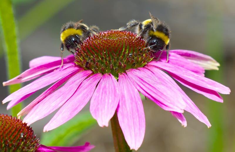 Dwa pszczoły na echinacea kwiacie obraz stock