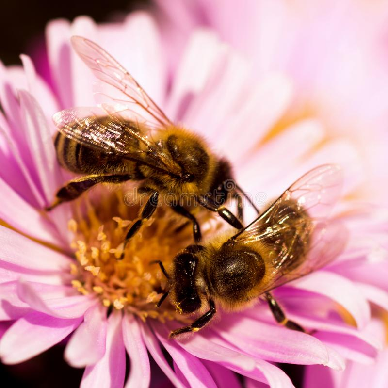 Dwa pszczoły na jeden kwiatu zapylaniu obraz royalty free