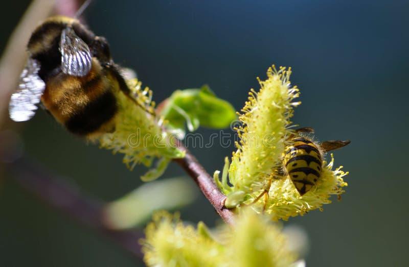 Dwa pszczoły na kwiacie obraz royalty free