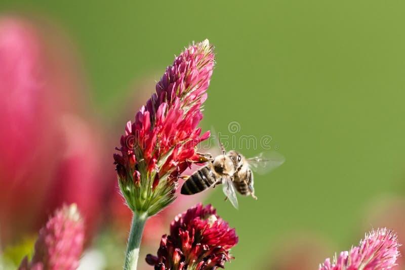 Dwa pszczoły - pojedynek dla kwiatu obrazy stock