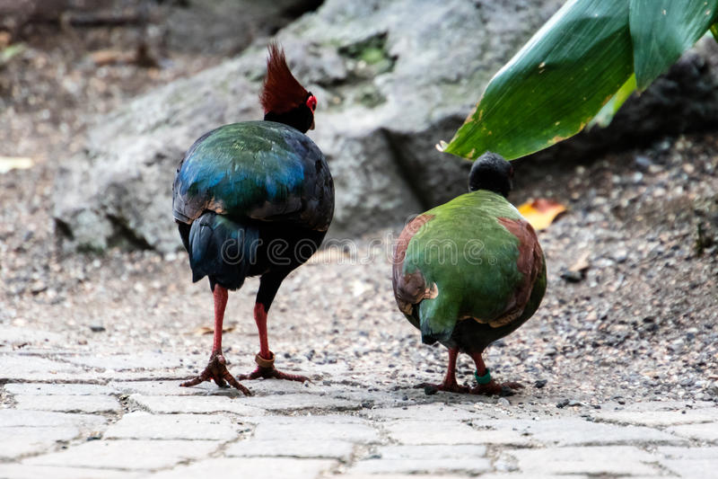 Dwa ptaków kolorowy spacer na brukowiec ścieżce obraz royalty free
