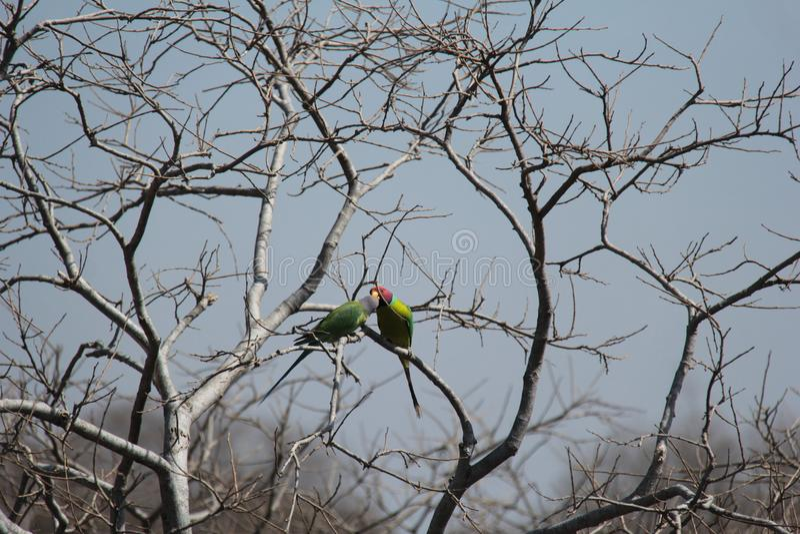 Dwa ptaków koperczaki na gałąź zdjęcie royalty free