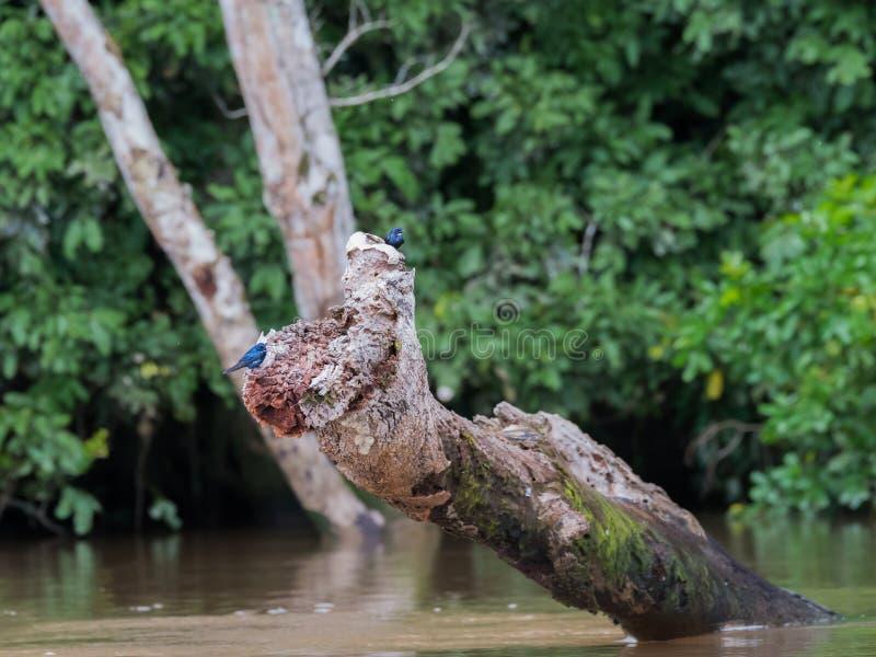 Dwa ptaków Lamprotornis elisabeth obsiadanie na karpy republice Kongo obraz royalty free