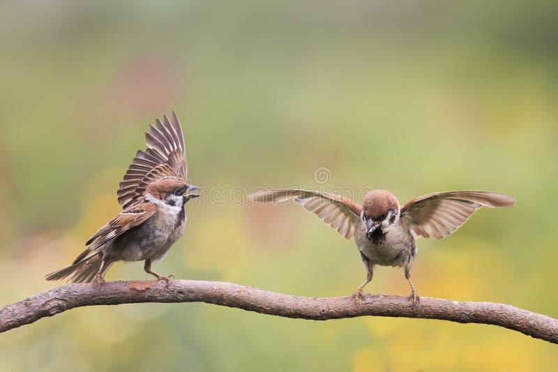 Dwa ptaków Wróbli falowanie upierza i uskrzydla na gałąź zdjęcie royalty free
