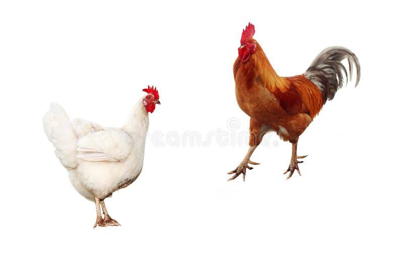 Dwa ptaka, kurczak i jaskrawy czerwony kogut na biały odosobnionym, zdjęcie royalty free