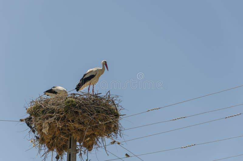 Dwa ptaka migrującego gniazduje na elektrycznym słupie, bocian, w spri obrazy stock