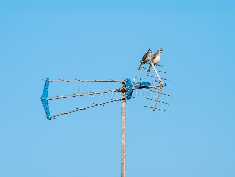 Dwa ptaka Siedzi na antenie obrazy royalty free