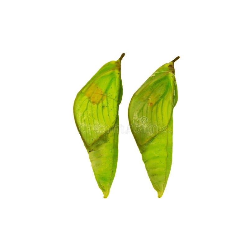 Dwa pupae biały siarczany motyl odizolowywający na białym tle fotografia stock
