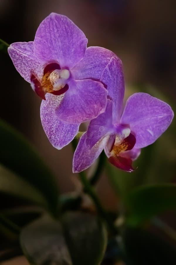 Dwa purpur i fiołka orchidei widoku pionowo zbliżenia zdjęcia royalty free