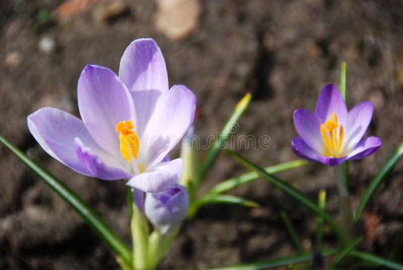 Dwa purpurowego błękitnego krokusa kwiatu fotografia stock