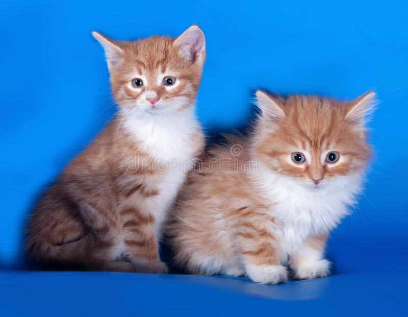 Dwa puszysta czerwień i biel kocą się obsiadanie na błękicie zdjęcia royalty free