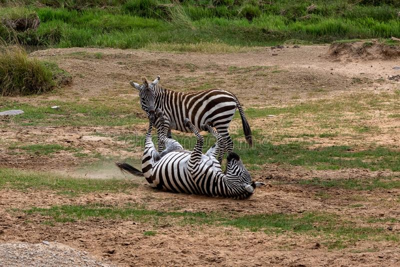 Dwa równiien zebra w Masai Mara, Kenja, Afryka zdjęcia stock