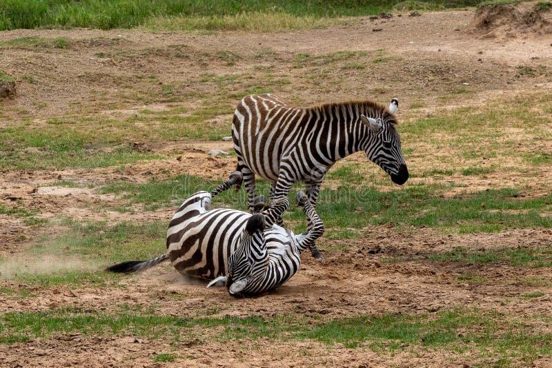 Dwa równiien zebra w Masai Mara, Kenja, Afryka obrazy royalty free