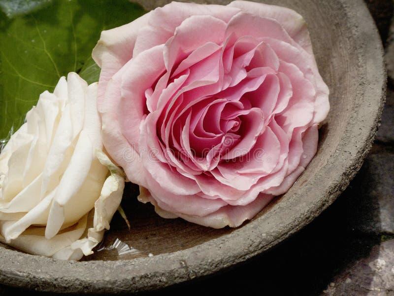 Dwa róż okwitnięcie W pucharze obraz stock