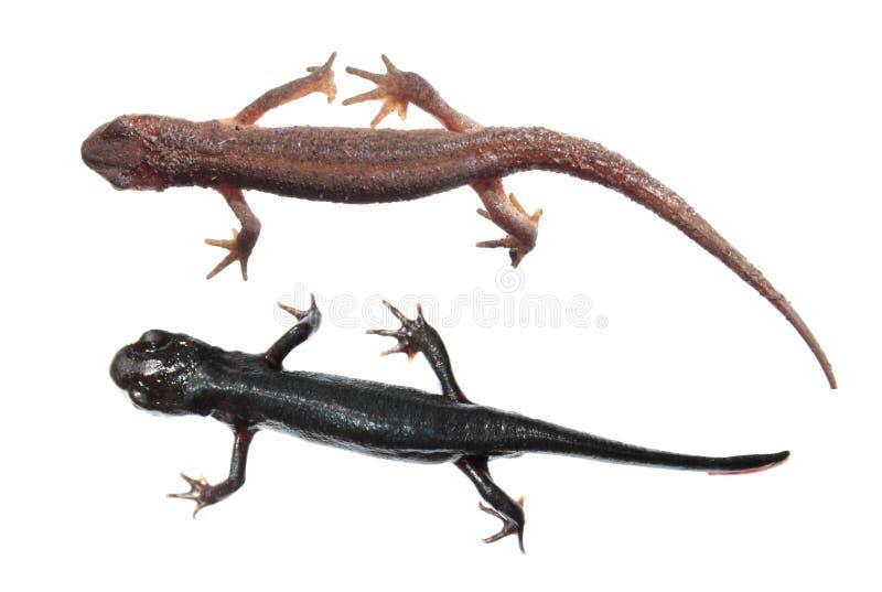 Dwa różnego gatunku newts odizolowywający na białym tle Pospolita traszka i japończyka brzuch pożarnicza traszka zdjęcie stock