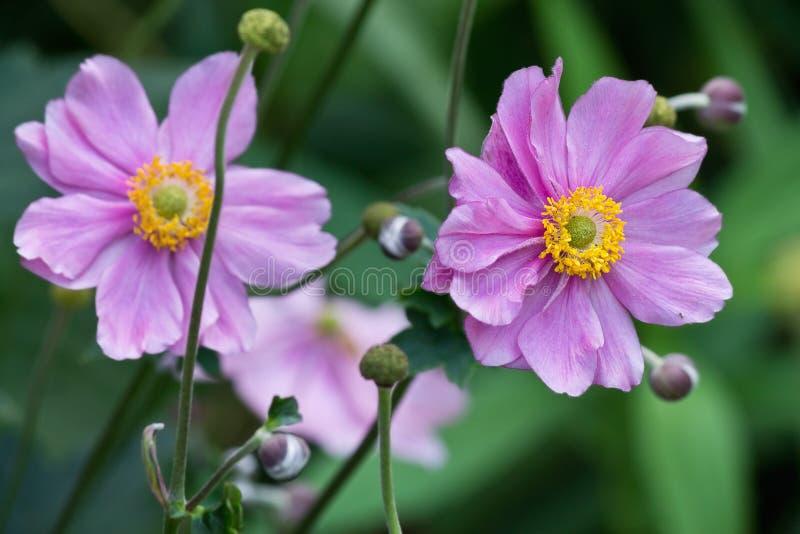 Dwa różowego anemonu zdjęcia stock