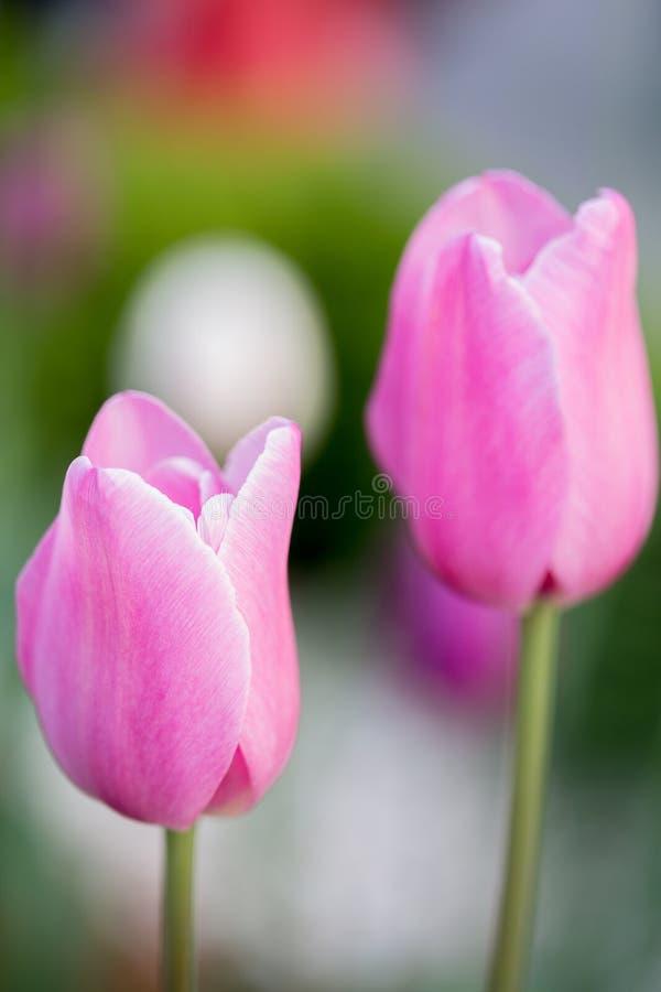 Dwa różowego tulipanu zdjęcia royalty free