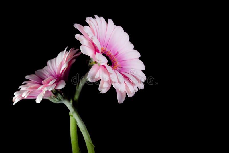 Dwa Różowej gerbera stokrotki na czarnym tle zdjęcia royalty free