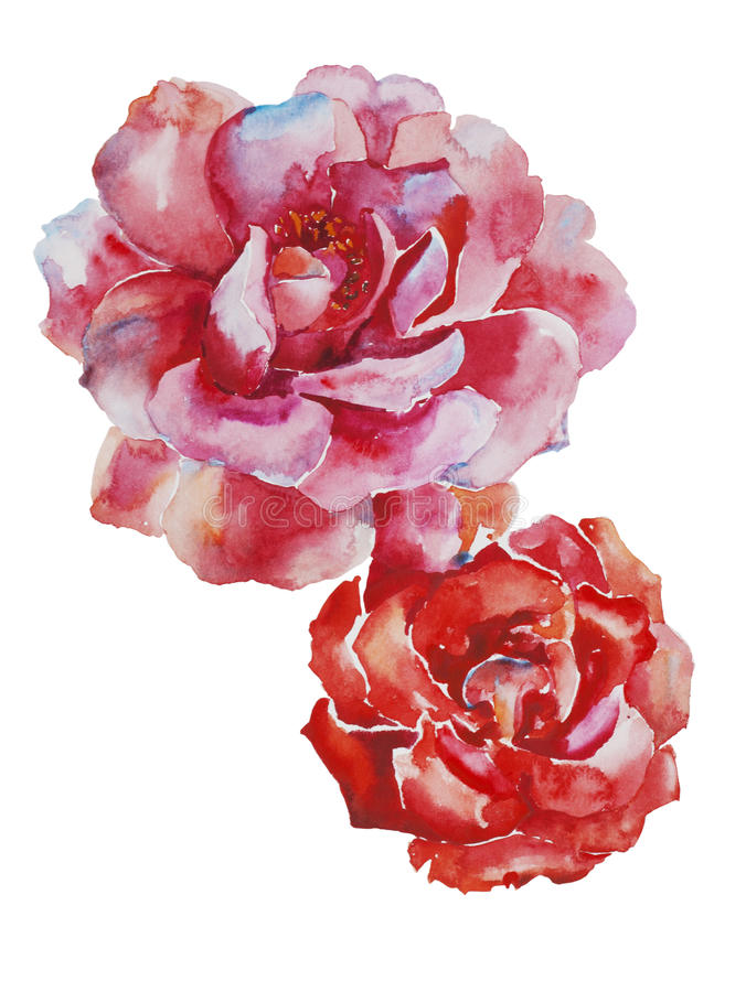 Dwa różowy i czerwone róże kwitną oryginalną akwareli sztukę odizolowywającą ilustracji