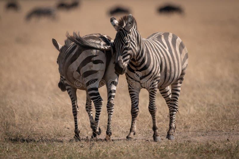 Dwa równiien zebry pozycja z wildebeest za obrazy royalty free