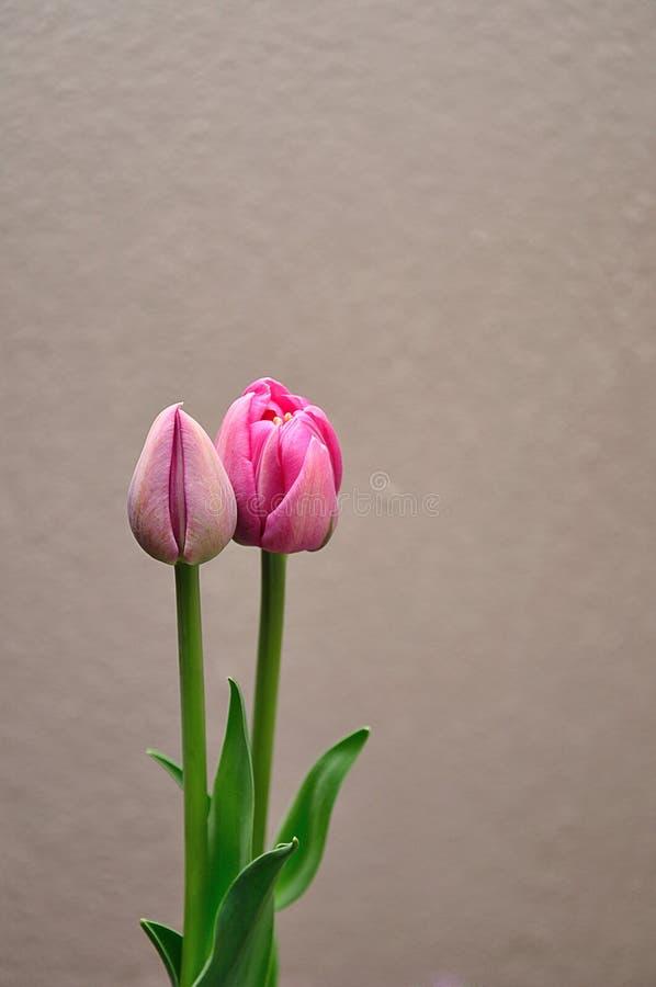 Dwa r??owego tulipanu obrazy royalty free