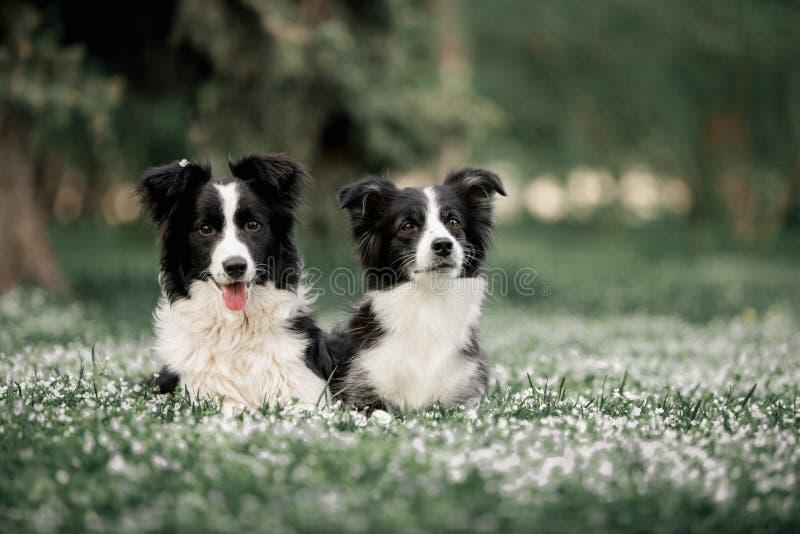 Dwa Rabatowych Collies psiej rodziny Śliczny Czarny I Biały Kłaść zdjęcie royalty free