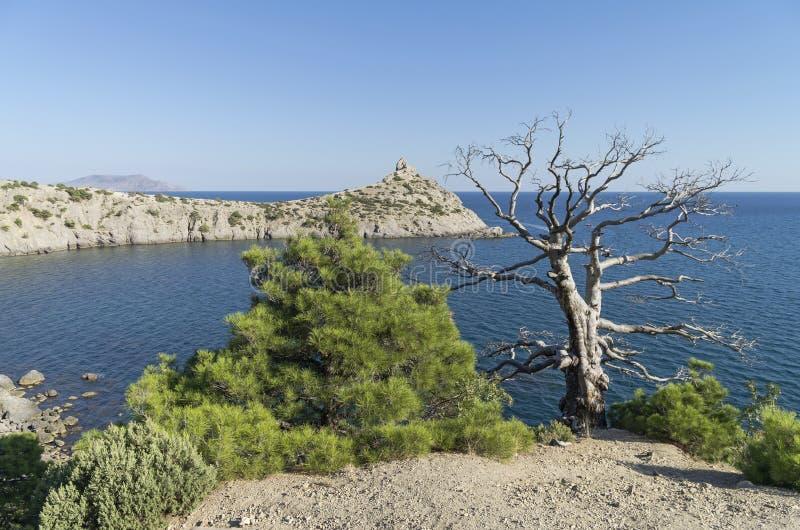 Dwa reliktów sosna, żyje nad morzem i kompletnie, Crimea, Wrzesień zdjęcie stock