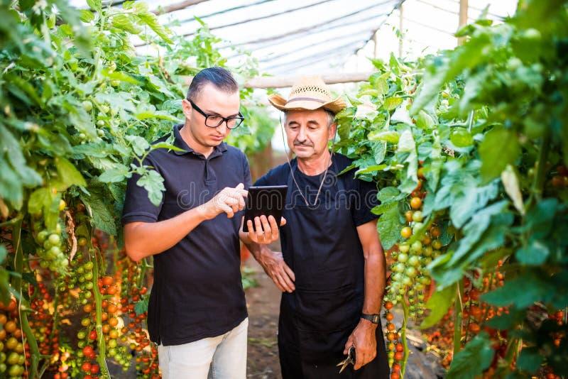 Dwa rolnictwo średniorolnego pracownika ckecking rozkazy czereśniowy pomidor online na pastylce od kostiumerów w szklarni Rolnict fotografia stock
