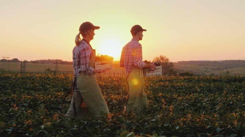 Dwa rolnika mężczyzna i kobieta chodzą wzdłuż pola, niesie boksują z świeżymi warzywami Organicznie uprawiać ziemię i rodzina zdjęcia royalty free
