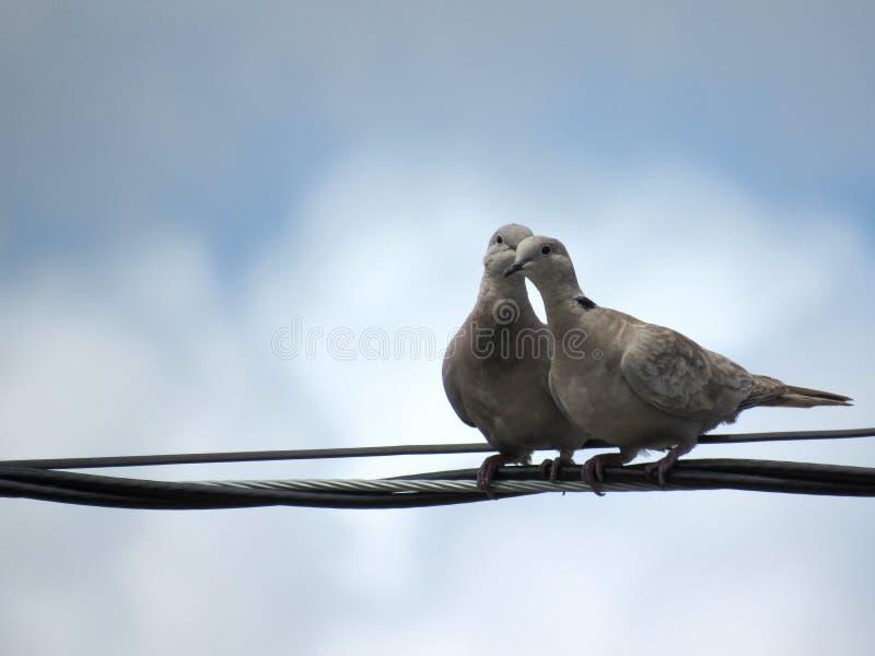 Dwa romantycznego ptaka ustawia wpólnie na depeszują linię zdjęcia stock