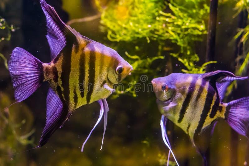 Dwa słodkowodnego angelfishes patrzeje each inny, popularni akwariów zwierzęta domowe, tropikalna ryba od Amazon basenu fotografia stock