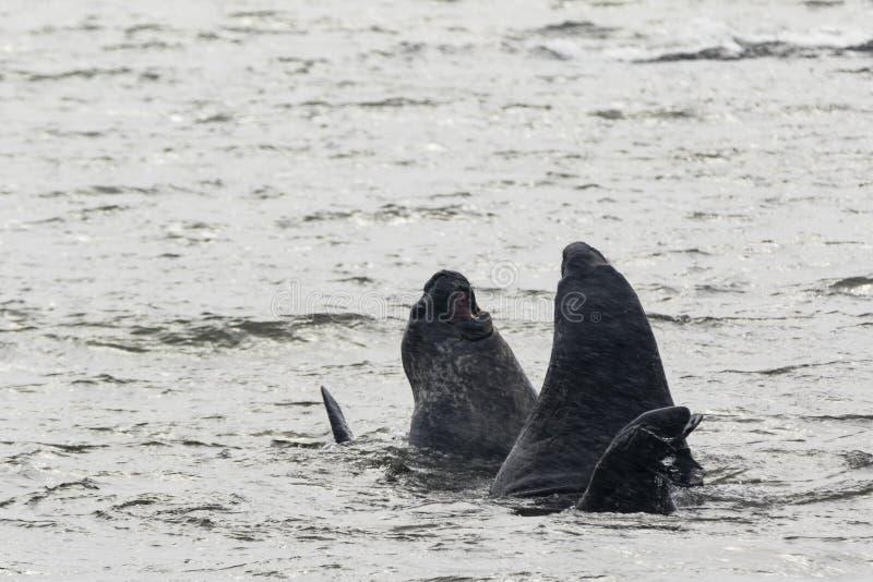 Dwa słoń foki walczy w wodzie zdjęcia stock