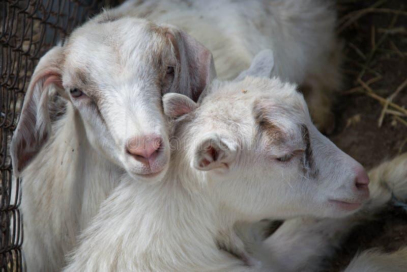 Dwa słodkiej małej dziecko kózki kłama na sianie, cuddling w gospodarstwie rolnym, villiage scena, wiejska, bydląt zwierzęta obrazy stock