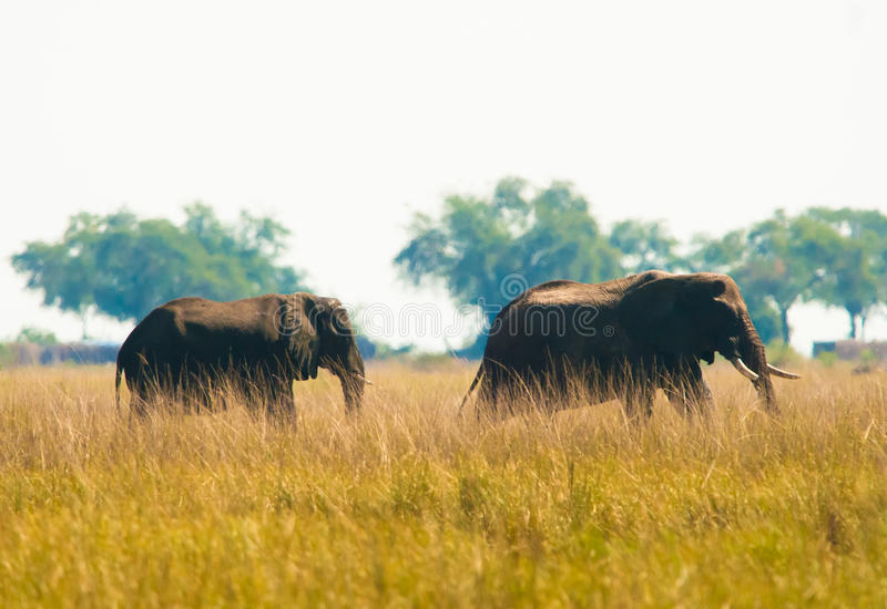 Dwa słoni wilking w trawie zdjęcia stock