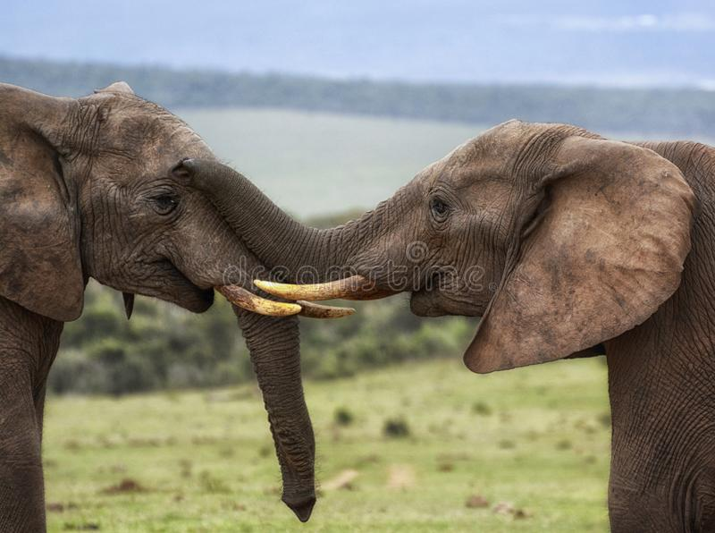 Dwa słonia jest czule obwąchaniem z bagażnikiem na twarzy obrazy stock