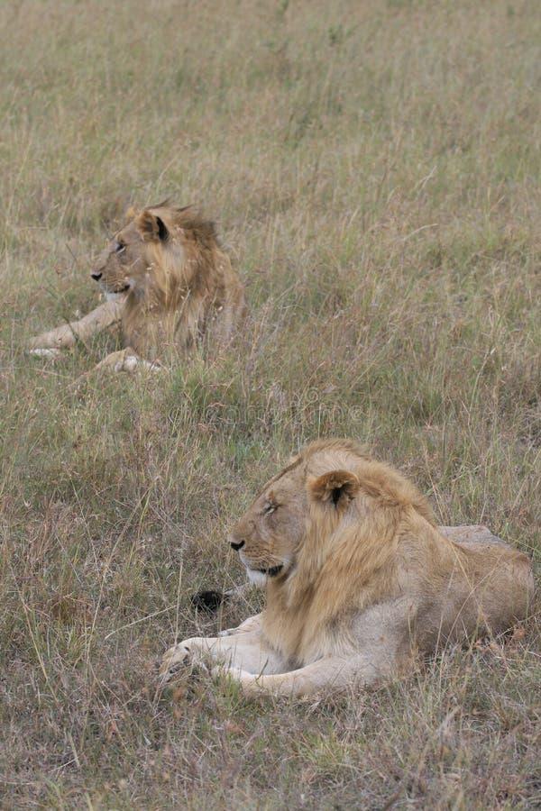 Dwa samiec lwa lying on the beach w suchej trawie odpoczywa w Masai Mara, Kenja zdjęcie stock