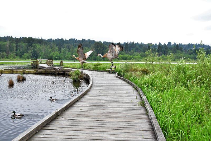 Dwa sandhill żurawia tanczy na molu fotografia stock