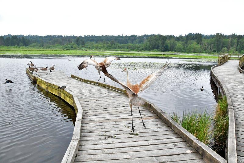 Dwa sandhill żurawia tanczy na molu zdjęcia royalty free