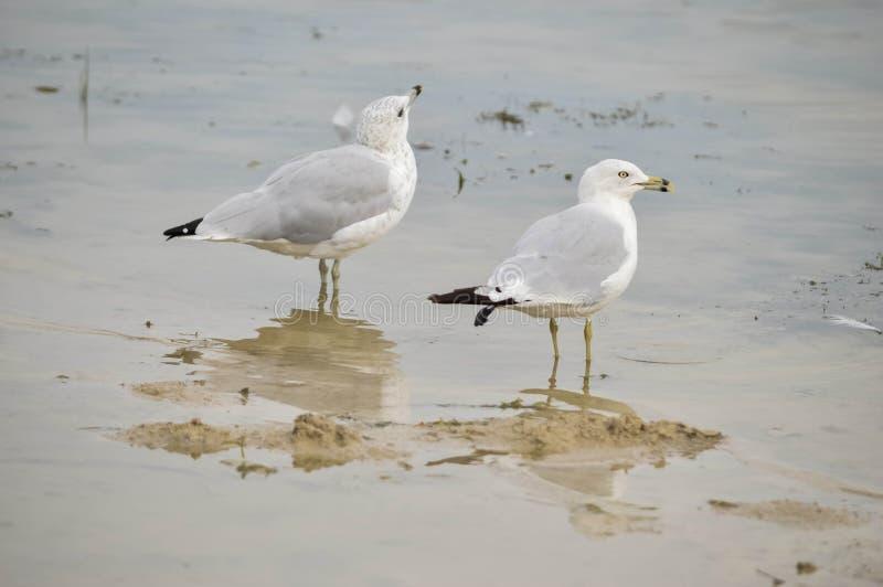 Dwa Seagulls na jeziorze obrazy royalty free