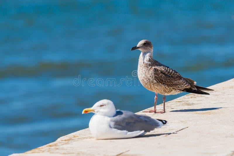 Dwa seagulls stoi na kamieniu W t?a morzu obraz stock