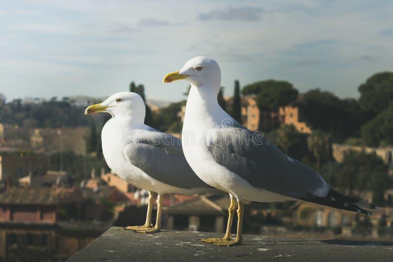Dwa seagulls stoi przeciw widokowi miasto Rzym zamazywali zdjęcie stock