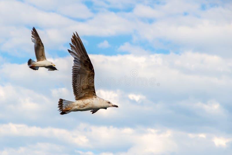 Dwa seagulls wznosi się w parze z chmurami w tle, wysokość nad Czarny morze odizolowywająca pojęcie czarny wolność fotografia royalty free