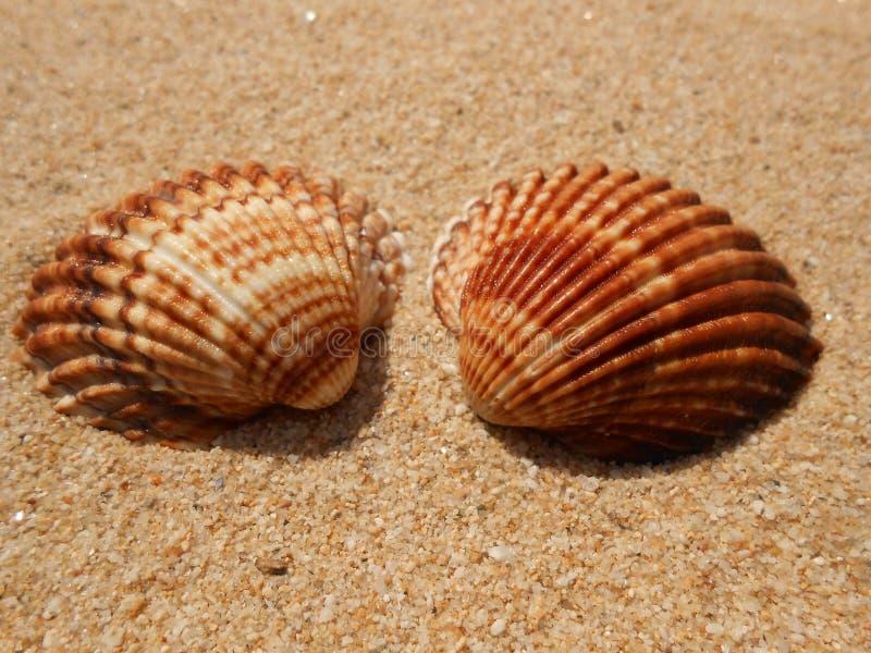 Dwa seashell fotografia stock