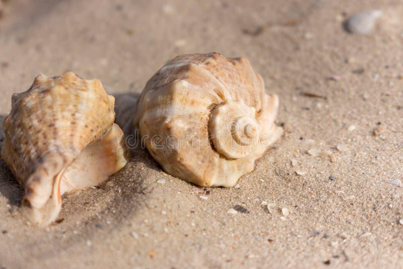 Dwa seashells na białym piaska zbliżeniu Łuska pojęcie Marina dekoracja bańka kopii ryby morskie życie ilustracyjnego wodorosty s zdjęcie royalty free