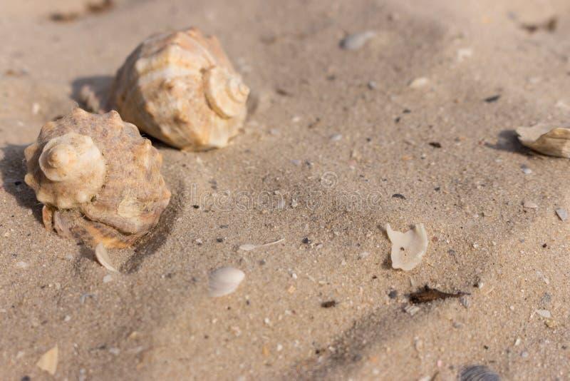 Dwa seashells na białym piaska zbliżeniu Łuska pojęcie Marina dekoracja bańka kopii ryby morskie życie ilustracyjnego wodorosty s obraz royalty free